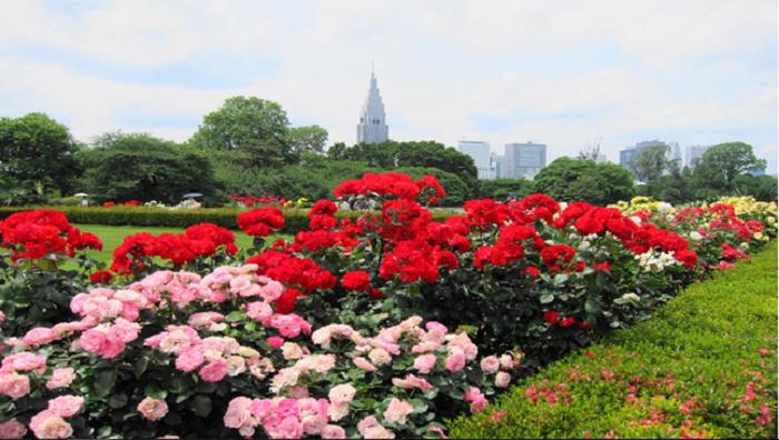 Shinjuku Gyoen French Rose Tokyo