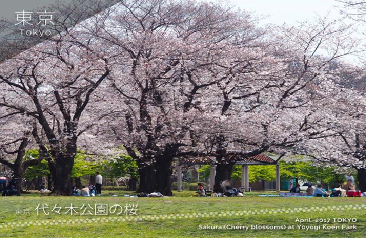Yoyogi park Cherry Blossum (Sukura)