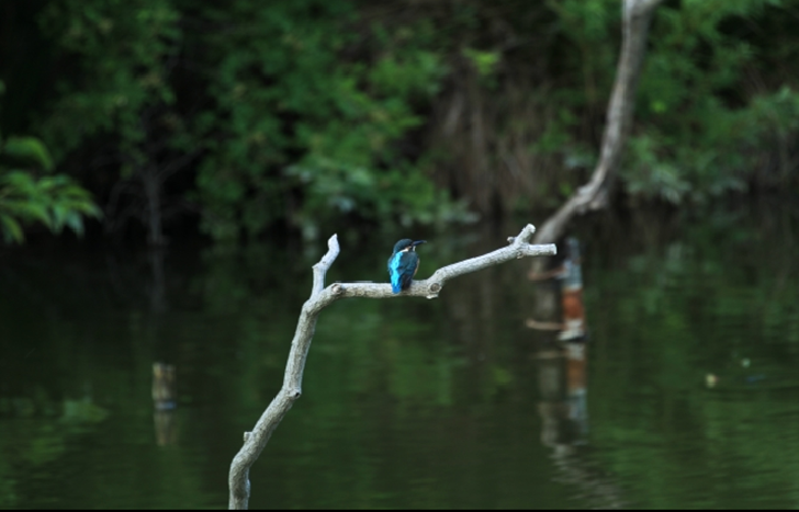 Mizumoto Park kingfisher at Bird Sanctuary
