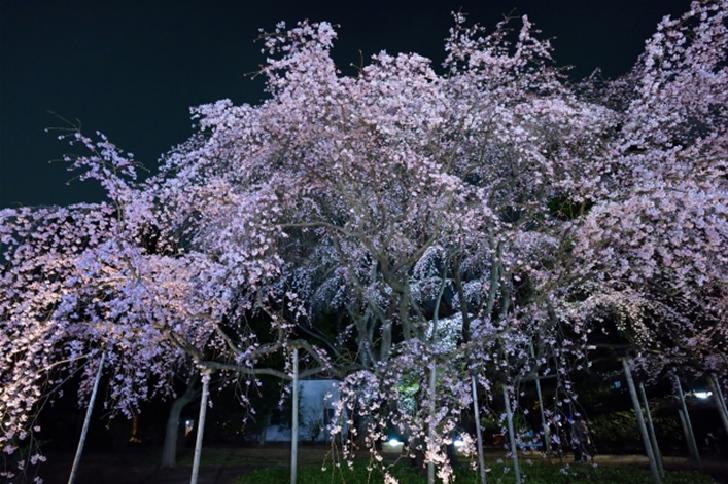 Rikugien garden Cherry tree blossoms Tokyo
