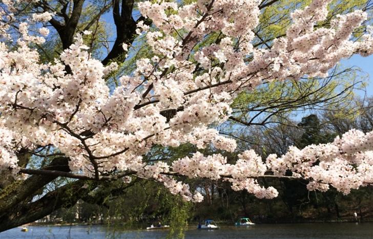 Shakujii Park Tokyo Cherry trees