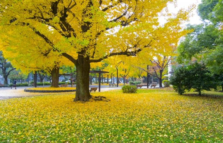 Shiba Park Tokyo with Ginkgo tree