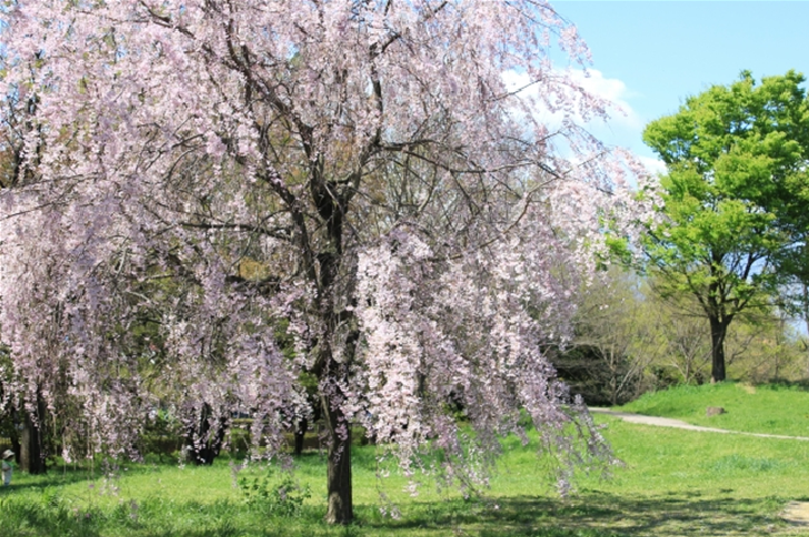 Syowa Memorial Park Tokyo Spring