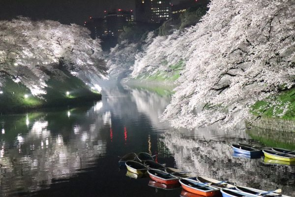 Cherry blossoms at Chidorigafuchi walking path night boat