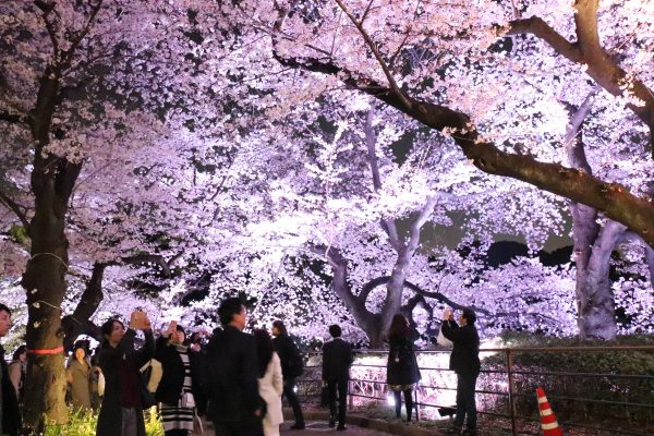 Cherry trees at Chidorigafuchi walking path night