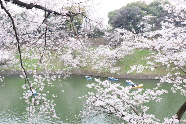 Chidorigafuchi cherry blossoms boat