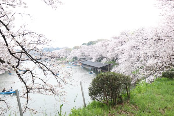 Cherry blossoms at Chidorigafuchi walking path