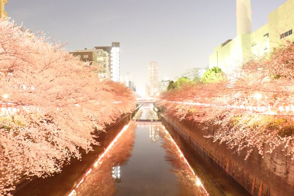 Cherry blossoms at Meguro River Night