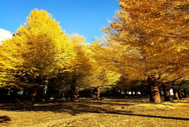 Yoyogi park Ginkgo