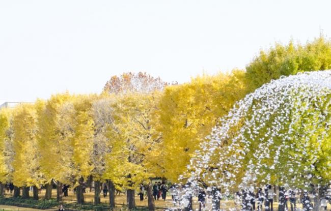 Syowa Memorial Park Tokyo Ginkgo Autumn