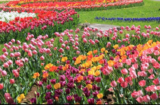 Syowa Memorial Park Tokyo Tulip