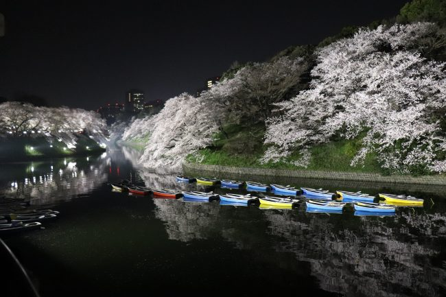Cherry blossoms at Chidorigafuchi walking path night